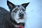 Shiva - the real live snow dog.